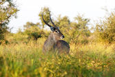 Common Waterbuck Bull — Stock Photo