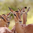 Impala Ewes - Stock Photo