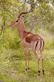 Impala baran — Zdjęcie stockowe