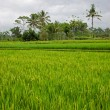 Rice Paddy — Stock Photo
