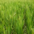 Stock Photo: Rice Cultivation