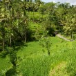 Rice Paddy — Stock Photo #3597606
