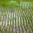 Rice Cultivation — Stock Photo