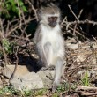 Young Vervet Monkey — Stock Photo
