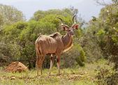 Kudu Bull — Stock Photo