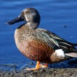 Australian Shoveler — Stock Photo