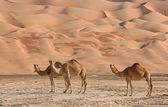 Empty Quarter Camels — Stock Photo