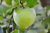 Green apple Granny Smith on tree — Stock Photo