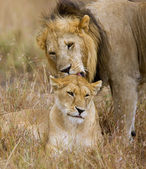 Lion Couple — Stock Photo