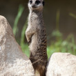 Stock Photo: Slender-tailed Meerkat