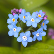Stock Photo: Field Forget-me-not (Myosotis arvensis)