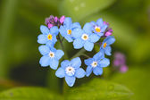 Field Forget-me-not (Myosotis arvensis) — Stock Photo