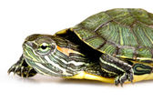 Red-eared Slider — Stockfoto