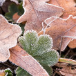 Frosted leaves — Foto Stock #3592323