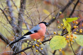 Eurasian Bullfinch (Pyrrhula pyrrhula) in the forest — Stock Photo