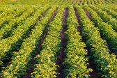 выращивание картофеля — Стоковое фото