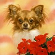 Chihuahua.jpg — Stock Photo