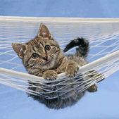 Cat in hammock — Stock Photo