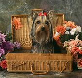 Dog in a wattle case — Stock Photo