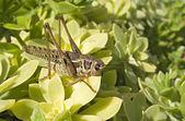 Grasshopper — Stock Photo