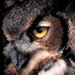 Stock Photo: Gaze of the Great Horned Owl