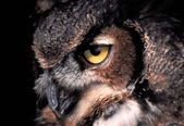 Gaze of the Great Horned Owl — Stock Photo