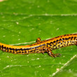 Long-tailed Salamander (Eurycea longicauda) — Stock Photo