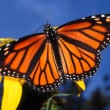 Monarch Butterfly (Danaus plexippus) — Stock Photo