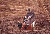 Red-tailed Hawk (Buteo jamaicensis) — 图库照片