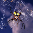Garden Spider (Argiope aurantia) — Stock Photo