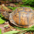 Box Turtle (Terrapene carolina) - Foto de Stock