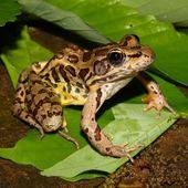 Pickerel Frog (Rana palustris) — Foto Stock