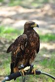 Eagle — Stock Photo