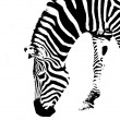 Zebra BW — Stock Photo
