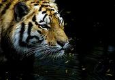Tiger hunting — Stock Photo