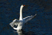 Swan about to depart — Stock Photo