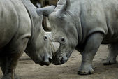 Rhinos fighting — Stock Photo