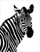 Zebra BW — Stock Photo