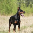 Doberman dog — Stock fotografie