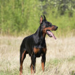 Doberman dog — Stockfoto