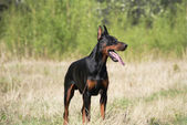 Doberman hond — Stockfoto
