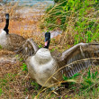 Goose Attacking Protecting Nest — Stock Photo #3673692