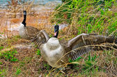 Goose Attacking Protecting Nest — Stock Photo