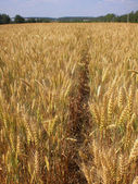 Field of mature ears of barley in Moscow Region. — Stock Photo