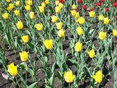 Yellow and red tulips on a lawn, Moscow. — Stock Photo