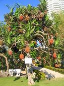 与城市芭堤雅,泰国的水果树 — 图库照片