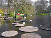The Netherlands, Haarlem. Swans on lake in a botanical garden — Stock Photo