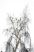 Flight of birds on a crone of a birch in the winter — Stock Photo