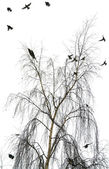The flight of birds flies from a crone of a birch in the winter — Stock Photo