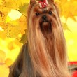 Dog Yorkshire terrier — Stock Photo